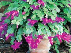 Quelle plante fleurie pour la maison cet hiver ? - Cactus de Noël