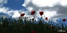 My beautiful poppies
