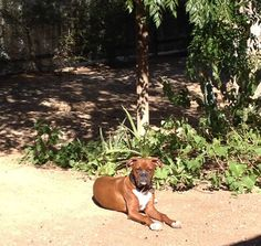 Apollo spending his day being taunted by a squirrel that's moved into the yard. Emotional and on guard!