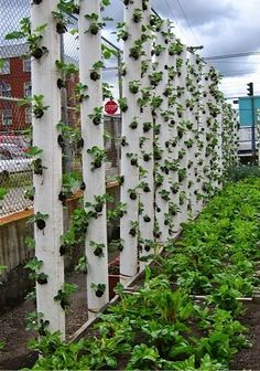Strawberries verticals..
