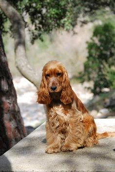 "Click visit site and Check out Cool ""English Cocker Spaniel"" T-shirts. This website is excellent. Tip: You can search ""your name"" or ""your favorite shirts"" at search bar on the top."