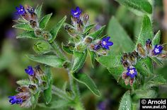 Anchusa officinalis (syn. Anchusa arvalis);     First Anchusae flos - In folk medicine for colds and bronchitis.      Second Anchusae herba - In folk medicine including kidney problems, bronchitis, stomach ulcers and rheumatic complaints. Because of the toxic properties of existing PAs, the therapeutic use of drugs is of concern.      Third Anchusae radix - Analog Anchusae herba. Because of the PAs contained the therapeutic use is questionable.