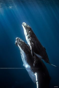 "Humbpack whales - Réunion island. by seb974 Humpback whales mommy with is ""little"" baby."