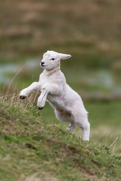 That is one Joyous sheep. This is how I felt after being healed and washed clean. Farm Animals, Animals And Pets, Cute Animals, Beautiful Creatures, Animals Beautiful, Baby Lamb, Sheep And Lamb, Counting Sheep, Mundo Animal