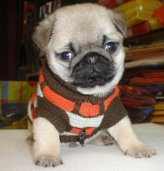 Cute Pug Puppy ~ pugaddict.com ~ Like us on facebook at http://www.facebook.com/pages/Pug-Addict/621471274575369