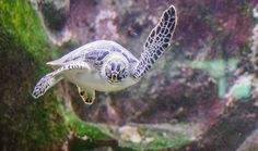 World Sea Turtle Day 2016 – Where the Babies Go Sea Turtle Pictures, Turtle Images, World Turtle Day, Ten, High Quality Images, Under The Sea, Find Image, Creatures, Nature