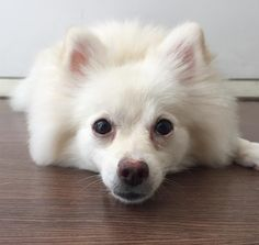 """My dear friend @penny_thepomeranian tagged me to do #treatface  Here I am doing head on the floor trick and waiting for mommy to say """"go"""" so I can eat the treat she's holding Phewyou gotta work hard for treats I tagged some pawdies to show their…"""