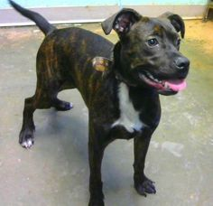 STATUS UNKNOWN - Knuckles (chipped) - URGENT - located at Dekalb County Animal Shelter in Decatur, Georgia - 10 MONTH OLD Retriever Mix