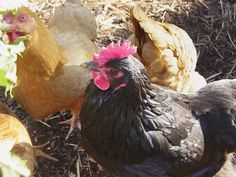 Chicken Breeds Ideal For Backyard Pets And Eggs