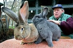 the world famous german giant bunny herman and his friend