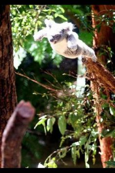 Did you know?  Koalas can climb 150 feet tall trees (45 metres) and leap from tree to tree.