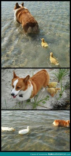 Corgi adopts flock of ducklings who lost their mother - FunSubstance.com