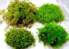 Live moss for terrarium, vivarium, orchids or miniature gardens. You will get up to 4 different kinds of live moss in 1 sheet. At least there is different mosses in every sheet. The moss is infiltrated in each other. Moss Decor, Plants, Miniature Garden, Garden Guide, Planting Herbs, Moss Garden, Terrarium Plants, Moss, Carnivorous Plants