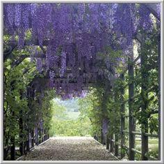 I just love wisteria...it's just so romantic.