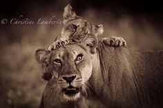 Photography by © (Christine Lamberth). Lion child playing with mother Mashatu. Big Cats, Cute Cats, Animals Are Beautiful People, Mother Photos, Beautiful Lion, Lion Cub, Game Reserve, Wild Nature, World Best Photos