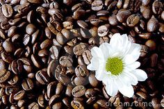Coffee Flower Stock Photo - Image: 778210