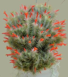 Unusual Flowers, Unusual Plants, Exotic Plants, Cool Plants, Cacti And Succulents, Planting Succulents, Planting Flowers, Air Plants Wholesale, Air Plants Care