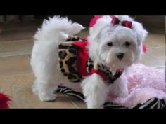 Teacup Maltese Puppy - Leo - YouTube