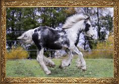 Keepsake Gypsy Vanners is located in Fergus, Ontario, Canada.  We own a small selectively chosen herd of Gypsy Vanners/Cobs that focuses on family friendly horses and the magnificent attributes of the Gypsy Vanner/ Cob breed.