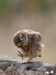 Baby owl just wants to dance!