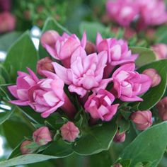 FiftyFlowers.com - Hot Pink Bouvardia Flower