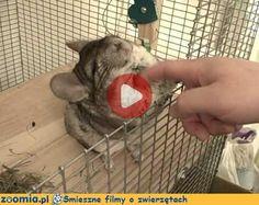 Pomasuj szynszylę Śmieszne Filmy Inne zwierzęta http://Zoomia.pl