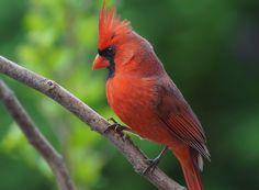 """Northern Cardinal"" by cheryl smith"