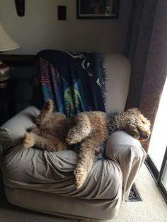 Airedale Sleep Position # 114
