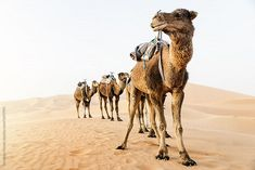 Stock photo of Sahara desert dromedary. Morocco. by Nunezimage