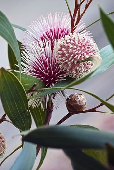 Floral inspo Hakea laurina (Pin-cushion Hakea) is one of the most admired native plants of south-western Australia, and is grown in quantity in Australia and other countries. Unusual Flowers, Unusual Plants, Amazing Flowers, Beautiful Flowers, Strange Flowers, Beautiful Beautiful, Australian Wildflowers, Australian Native Flowers, Australian Plants
