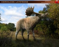 Broad-fronted moose (Cervalces latifrons) is probably the largest deer to have ever existed.