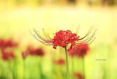 Lycoris Radiata by Tony Lee on 500px
