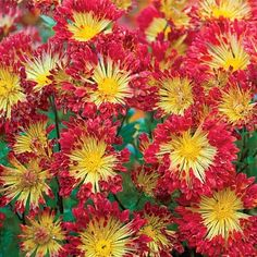 Matchsticks Chrysanthemum | Spring Hill Nursery