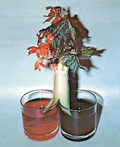 """""""A plant transportation system experiment with celery from The Little Kid's Craft Book by Jackie Vermeer & Marian Lariviere, TaplingerPublishing, NY, 1973"""""""