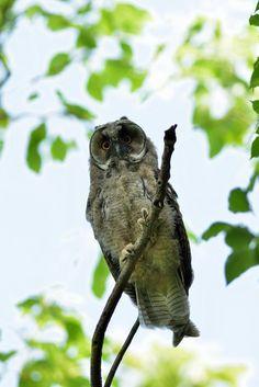 Long-eared owl Baby by Mubi.A