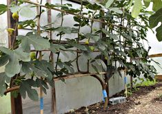 Espalier Fig Trees - As a final note, growers of Chicago Hardy do have one warning I plan to take to heart. This particular variety of fig fruits much less if unpruned, so be sure to cut stems back to 30 inches every … Potager Garden, Fruit Garden, Garden Trees, Edible Garden, Vegetable Garden, Back Gardens, Outdoor Gardens, Espalier Fruit Trees, Fig Fruit