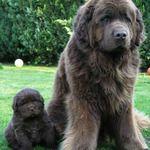 Newfoundland Dog - Coolspotters