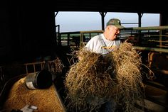 "Steve Walthart, 64, brings hay to his cows at his farm just down the road from Independence in the bordering town of Winthrop, Iowa, on July 6, 2011. Walthart farms corn, soybeans and hay on 560 acres outside Independence, 460 of which he owns. With farmland prices in Iowa now fetching $8,000 or more an acre, he is sitting on a gold mine if ever he decided to sell out but Walthart dismisses the idea of cashing out and retiring. ""Think of it, think of it,"" he said, ""what would I do with the…"