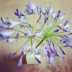 agapanthus flowers in its little vase