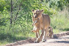 Want to GO on a game drive from Hazyview. Private Safari, Small Group Tours, Kruger National Park, Day Tours, Pet Birds, Wildlife, African, Vehicles, Animals