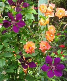 A purple Clematis 'Gypsy Queen' blooming alongside the apricot-orange double blossoms of a 'Westerland' rose.