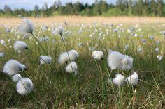 Tupasvilla | Eriophorum vaginatum | Tussock cottongrass