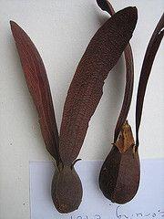 Dipterocarpus dyeri (niki.is.here) Tags: seeds winged