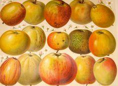 1894 apples original antique botanical apple by antiqueprintstore