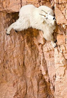 Goat..... these guys are unbelievable, the best rock climbers in the world.   We watch them all the time when we go to the mountains...
