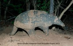 Giant Armadillo - south American rare and elusive animal
