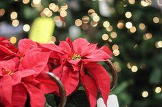 Poinsecja - czyli gwiazda betlejemska - jest jednym z symboli Bożego Narodzenia. Nie trzeba jej jednak kupować co roku. Dzięki odpowiedniej pielęgnacji roślina ta może nam towarzyszyć w kolejne święta. Gwiazda betlejemska przybyła do Europy z Ameryki Południowej i dzięki charakterystycznym, naj