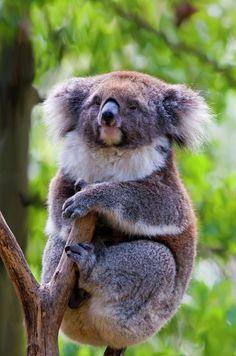 Treetop Koala; photo by Mike Dawson