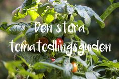 Guide för att odla tomater