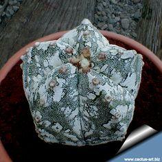 Astrophytum myriostigma cv. 'Hakuun'